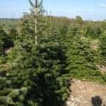 real xmas tree farm