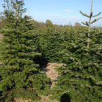 real christmas tree farm 2019