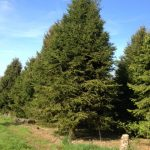 real christmas tree farm berkamsted