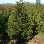 real xmas tree farm in berkhamsted