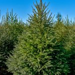 christmastreefarm of