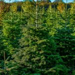 christmastreefarm of e