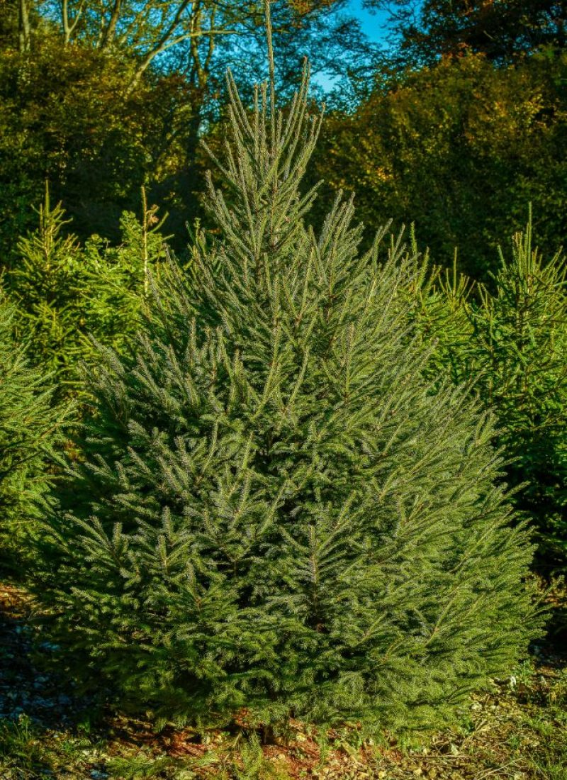 christmastreefarm(1of1)-13